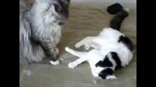 Домашняя кошка и мейн кун