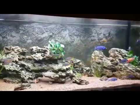 500l malawi barsch aquarium youtube. Black Bedroom Furniture Sets. Home Design Ideas