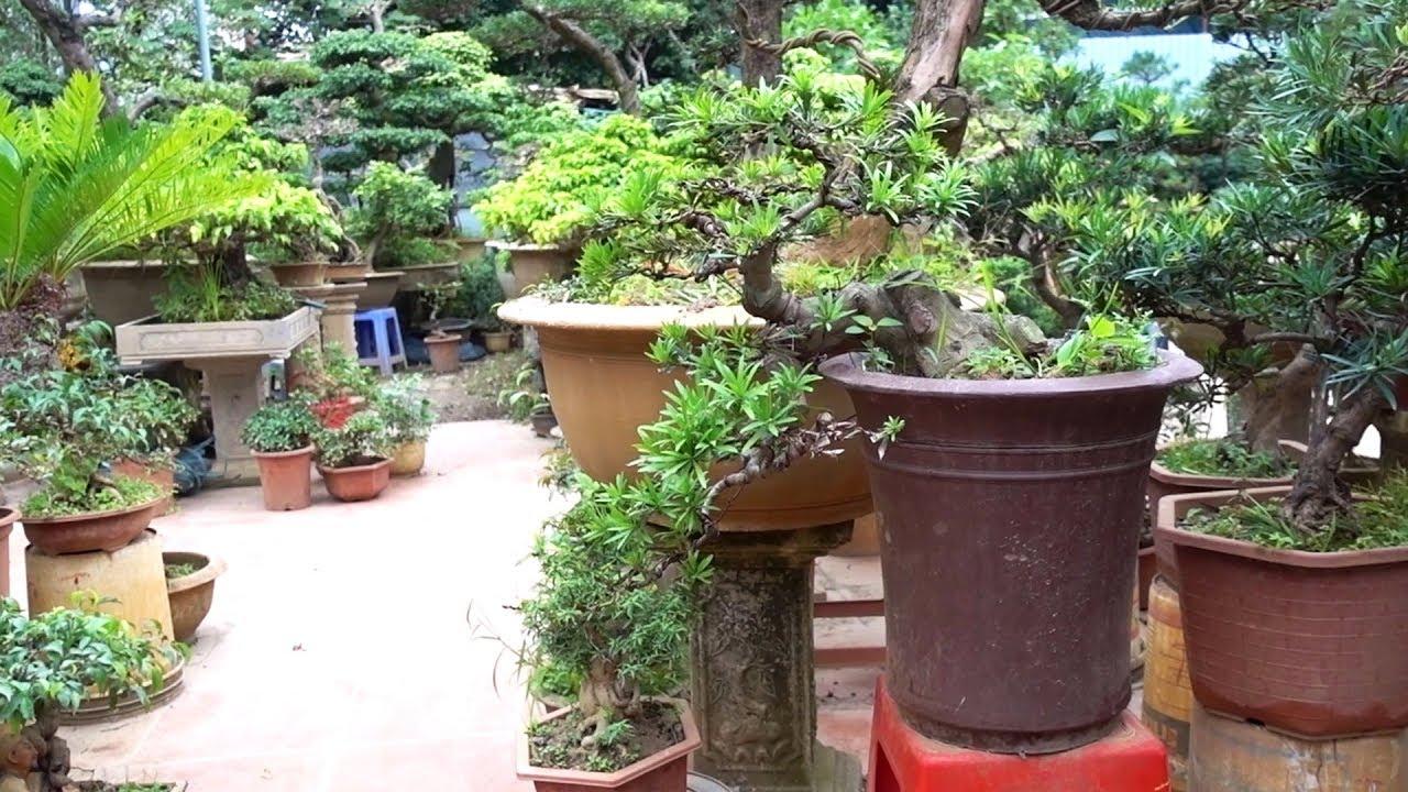 Tham khảo giá cây cảnh, tùng la hán chưa đến 1 triệu – Pine bonsai is too beautiful and cheap