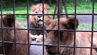富士サファリパークの「ウォーキングサファリ ライオンロック」でライオ...