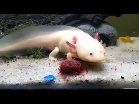 Feeding bloodworm to Axolotl (Tiki)