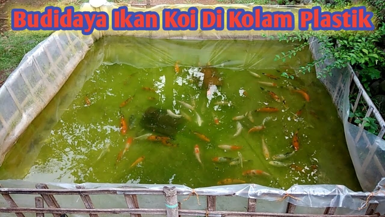 Budidaya Ikan Koi Di Kolam Plastik - YouTube