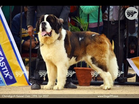 Chandigarh Dog Show | Group2Judging Ring2 | 29th Jan 2017 | Dogs99.com