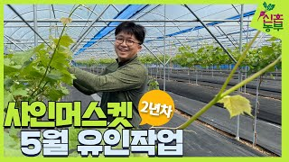 귀농일기 #55 2년차 샤인머스켓 5월 신초 유인작업│…