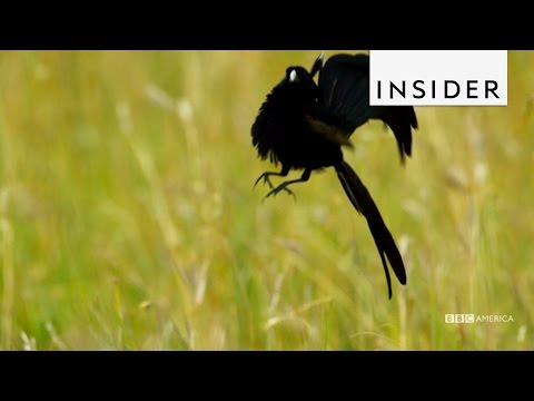 Jackson's widowbirds jump as part of their courtship display