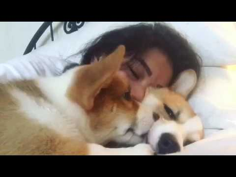 Corgi Enjoys Cuddles