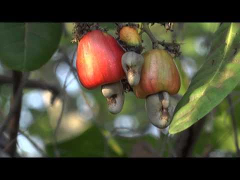 "Cashew Apple, the ""pseudo"" fruit"