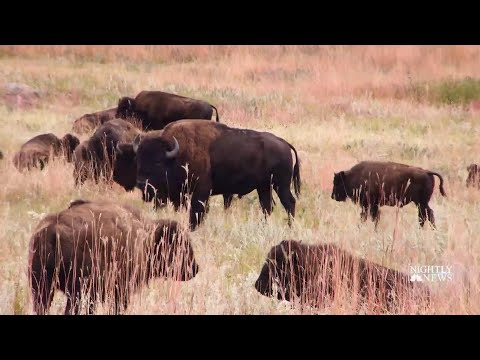 Meet The Folks Behind South Dakota's Annual Bison Roundup | NBC Nightly News
