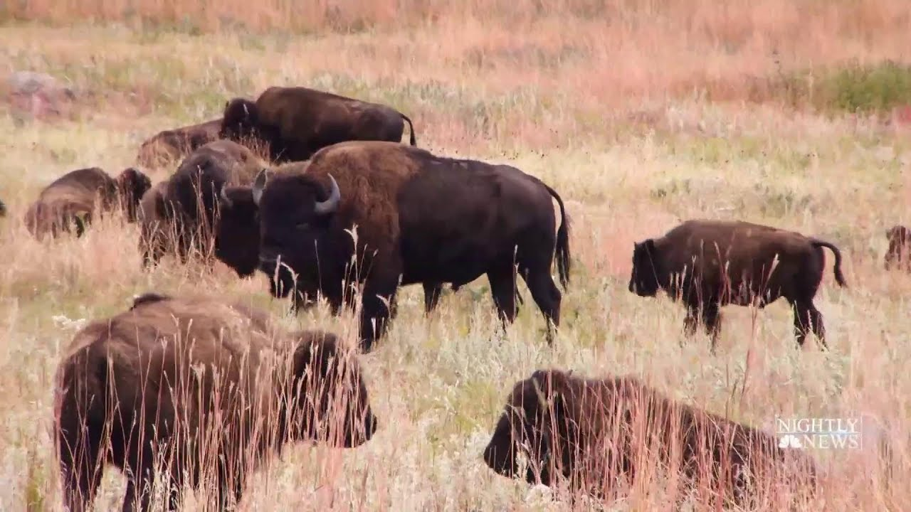 Download Meet The Folks Behind South Dakota's Annual Bison Roundup | NBC Nightly News