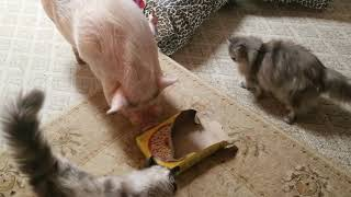 OMG 😱 BOTTON THE AFRICAN GREY JUST FED SAM THE MINI PIG A WHOLE BOX OF CHEERIOS 😱 Sweet dreams 💖