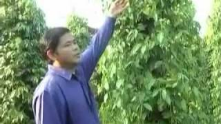 Cambodia Agriculture: Black Pepper Farming with SoilBio1 Fertilizer
