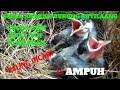 Suara Anakan Kutilang Buat Mikat Burung Dewasa  Mp3 - Mp4 Download