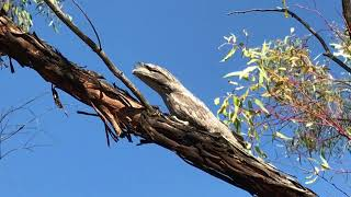 Tawny Frogmouth In The Wheatbelt Western Australia