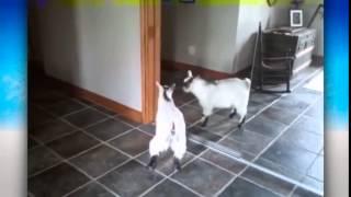 Смешные животные Классное видео