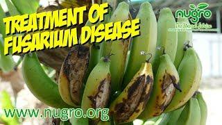 Nugro MicroNutrient Treatment of Fusarium Disease at Banana Plantation 2016