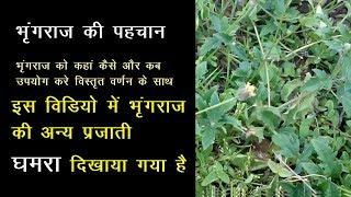Bhringraj ke Fayde in hindi, भृंगराज का पौधा, Bhringraj Plant, भृंगराज के फायदे, घमरा भी बोलते है