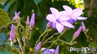 Cryptostegia madagascariensis - Madagascar rubbervine (Apocynaceae)