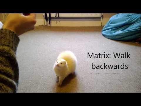 Cute ferret tricks
