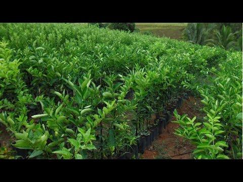 Curso Produção de Limão Taiti - Espaçamento e Plantio