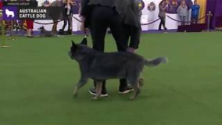 Australian Cattle Dog | Breed Judging 2020