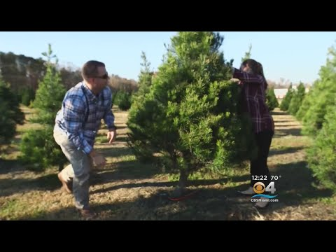 Nationwide Shortage Of Christmas Trees Reported