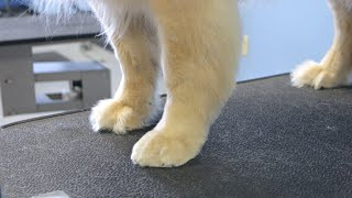 How To Full Foot Trim - Golden Retriever Legs and Paws - Do-It-Yourself Dog Grooming