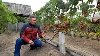 Подбор сортов винограда для продажи.  Северные регионы.