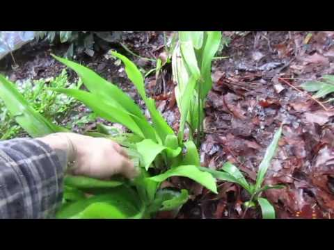 How to Grow Cast Iron Plant