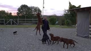 Питбули в деле, гости с Брюховецкой приехали за щеноком.