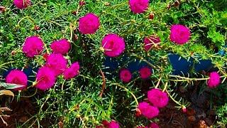7 Dicas Sobre A Flor Onze Horas