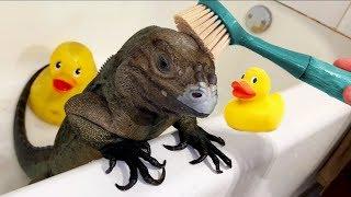 Iguana en la tina