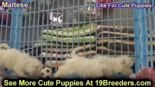 Maltese, Puppies, For, Sale, In, Rio Rancho, New Mexico, County, Nm, Sandoval, San Juan, Mckinley, L