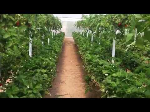 topraksız çilek ve topraksız domates aynı ortamda