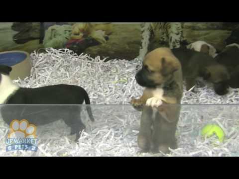 Boxer X Kelpies Puppies Youtube