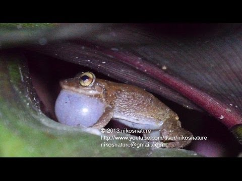 Surrounded by hundreds of coqui frogs! - 24 minutes.