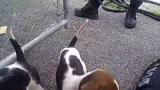 Beagle/foxhound Pups2