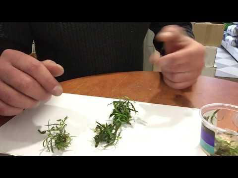 Обзор Аквариумное растение Гигрофила арагвая (HYGROPHILA ARAGUAIA)