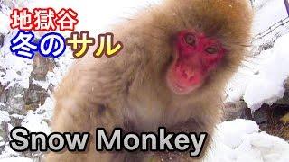 説明 地獄谷野猿公苑温泉に入っていない猿の観察 Jigokudani Yaen-koen ...