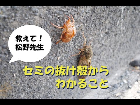 教えて松野先生!~セミの抜け殻からわかること~