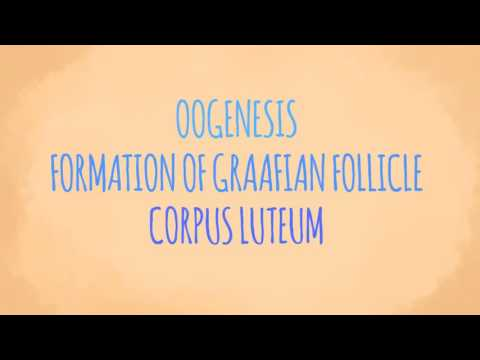 Oogenesis Formation of Graafian Follicle and Corpus Luteum