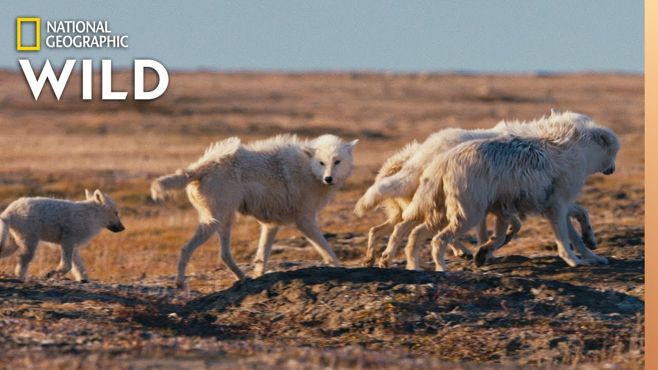 Arctic Wolf Pups on First Family Outing | Nat Geo Wild