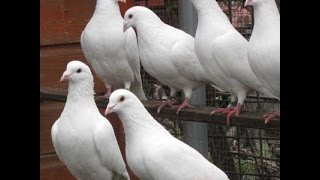 Pigeons - Making Perches that are Better Suited for Fantail Pigeons