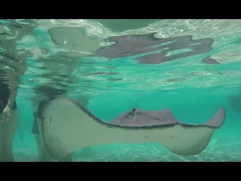 UNTIE THE LINES II #54 - Stingray City