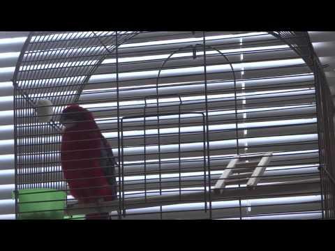 Попугай Розелла по имени Пиксик поёт!