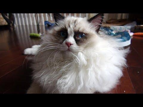 Introducing Ragdoll Kitten Casey To 7 Ragdolls