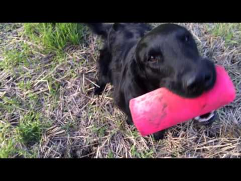 Flatcoated Retriever training - Dummy launcer