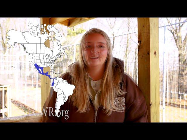 Tiger Tuesday: White Nosed Coatimundis with Turpentine Creek Wildlife Refuge's Education Department