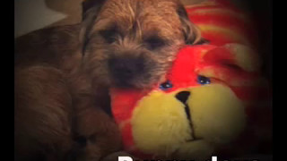 Border Terrier...... 'DAYS',  I'll remember all my life.