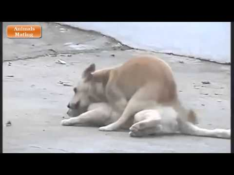 Dogs Mating Normally II without any human help from YouTube · Duration:  1 minutes 4 seconds