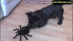Scottish Terrier, Puppies, Dogs, For Sale, In Jacksonville, Florida, FL, 19Breeders, Orlando